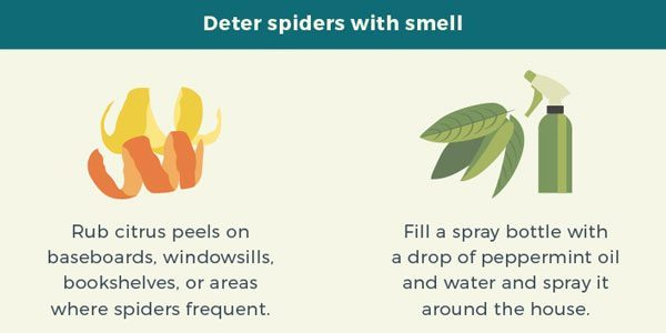 Common Spiders